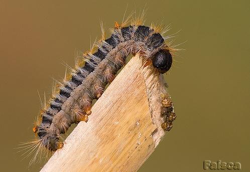 Larva L5 © Faísca