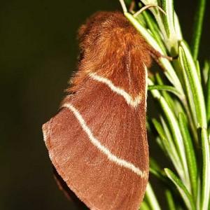 Macrothylacia digramma