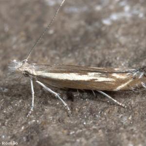 Isophrictis lineatellus