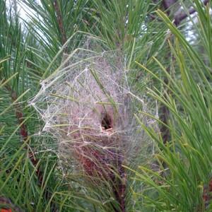 Ninho de lagartas de processionária-do-pinheiro © Liliana Vinagre