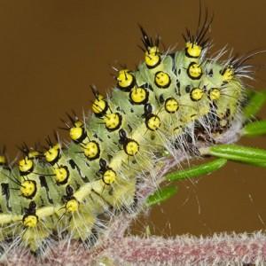Larva L4 © Eduardo Marabuto