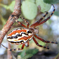 Aranhas de Portugal