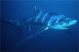 O Tubarão-azul