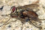 Os segredos da Família Tachinidae