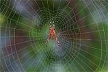 Aranha Europeia do Ano 2010 – A Aranha-de-cruz-cosmopolita Araneus diadematus Clerck, 1758