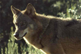 O Lobo em Portugal