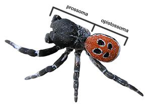Anatomia das aranhas de Portugal