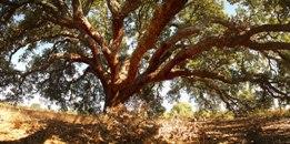 O sobreiro como árvore nacional de Portugal