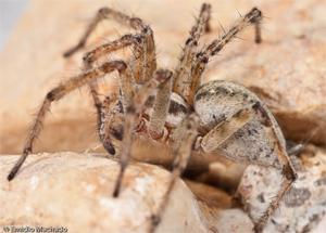 A Aranha Europeia do Ano 2011 – a aranha-de-labirinto Agelena labyrinthica (Clerck, 1757)